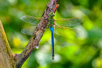 Gorgeous Green Darner