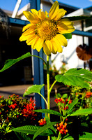 Sunflower & Butterfly Weed