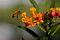 Bee in the Butterfly Weed