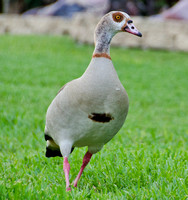 An Egyptian Goose Comes To Visit