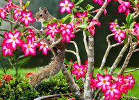 Squirrel in the Desert Rose