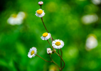 Wild Daisies in the Meadow II
