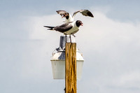 Two Laughing Gulls on a Lampost