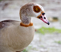 Egyptian Goose Close-up