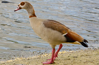 Egyptian Goose Lakeside