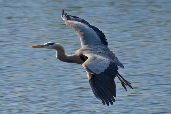 Great Blue Heron in Flight II