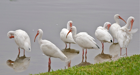 Idle Ibises in the Morning