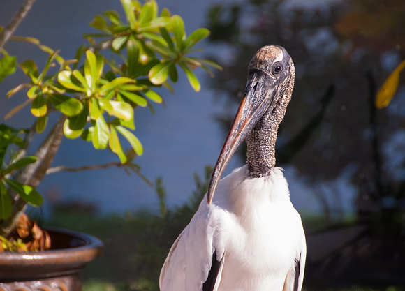 Wood Stork on the Patio
