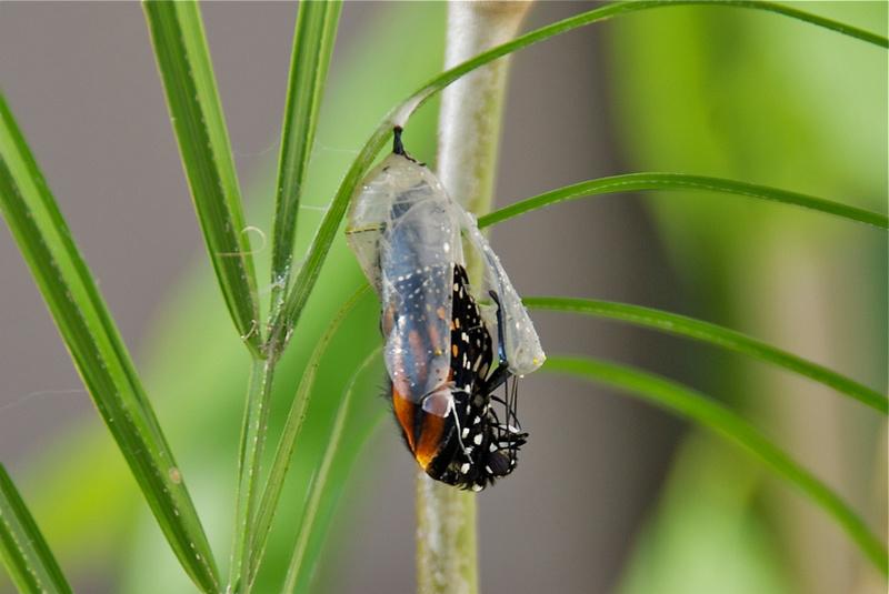 Birth of a Butterfly... Luna Jade ~ BeautySuspended.com