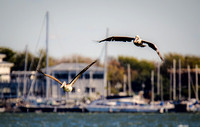Two Pelicans and a Marina