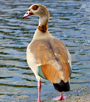Egyptian Goose in Profile