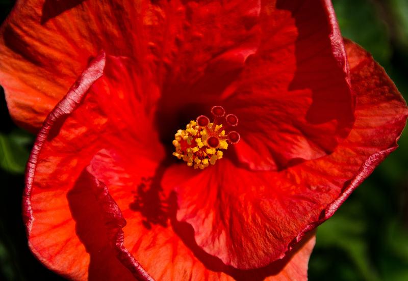 Hibiscus Magnificence... Luna Jade ~ BeautySuspended.com